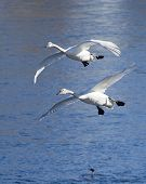 stock photo of trumpeter swan  - Pair of Trumpeter Swans about to land - JPG