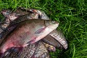 Successful Fishing -  Big Freshwater Bream Fish On Keepnet With Fishery Catch In It.. poster