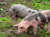 Two Spotted Pigs On A Mountain Pasture poster