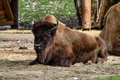 The American Bison Or Simply Bison, Also Commonly Known As The American Buffalo Or Simply Buffalo, I poster