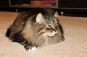 A Fluffy Cat Is Resting On A Fluffy Carpet. Pet-norwegian Forest Cat. poster