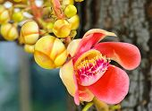 picture of cannonball  - Cannonball Tree Which Is Special Significance In Buddhist Religion And Often Planted At Buddhist Temple - JPG