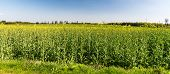 Springtime Rural Scenery With Oilseed Rape And Clear Sky Near Jakubcovice Village Not Far From Opava poster