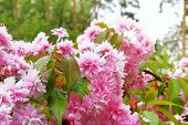Sakura Is Blooming In Park, Close Up. Pink Flowers Is Growing In Japan. Landscaping And Decoration I poster