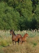 A Pretty Welsh Cob Mare With Her Foal In A Meadow. poster