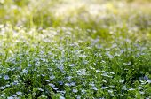 Forget-me-nots Flowers Meadow Under Bright Spring Sunshine. Myosotis Or Scorpion Grasses Blooming In poster
