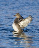 picture of gadwall  - Drake Gadwall on the water with wings stretched - JPG