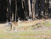 picture of blacktail  - California Blacktail buck  - JPG