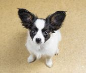 foto of linoleum  - Cute Puppy Papillon sitting on yellow linoleum floor - JPG