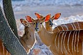gazelles of Africa