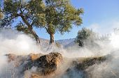 stock photo of grease  - Olive tree in the misty morning with blue sky in the background - JPG