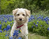 stock photo of mutts  - Young scroffy tan dog sitting among the Bluebonnets - JPG