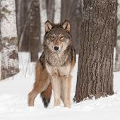 Grey Wolf (Canis lupus) Looks Forward