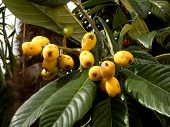 picture of loquat  - Fruits ripening on a Japanese Loquat aka Eriobotrya japonica - JPG