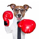 stock photo of punch  - Boxing business dog punching towards camera with red boxing gloves - JPG