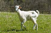 stock photo of cashmere goat  - Little goat walking on the lawn in a sunny day - JPG
