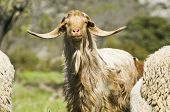 image of cashmere goat  - Brown goat looking at the camera in a sunny day - JPG