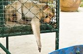 foto of chimp  - sad monkey reaching through cage for food - JPG