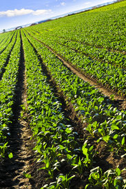 image of turnip greens  - Rows of turnip plants in a cultivated farmers field - JPG