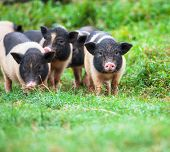 pic of pot-bellied  - vietnam pig - JPG
