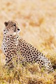 Cheetah n the Masai Mara reserve in Kenya Africa