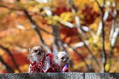 picture of laika  - Beautiful dog with nice traditional Japaneses dress - JPG