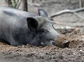 Wild Boar Resting On The Ground