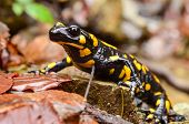stock photo of newt  - Fire salamander standing on the wet stone and autumn leaves with photographer - JPG