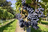 foto of ethanol  - Several bunches of blue grapes with a path in a vineyard - JPG