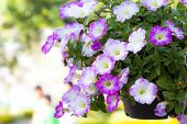 picture of petunia  - Petunias - JPG
