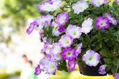 foto of petunia  - Petunias - JPG