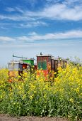 foto of rape-seed  - Rape seed canola plant in field with bee hives in background - JPG