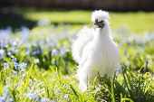 image of bantams  - Little silkie chicken looks aside on the yard - JPG
