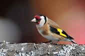 stock photo of goldfinches  - Photo of european goldfinch on a tree - JPG