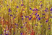 picture of thor  - Utricularia delphinoides Thor - JPG