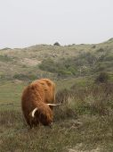 image of highland-cattle  - Scottish Highland Cattle with horns and long shaggy hair grazing