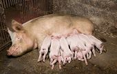 pic of lactation  - Little piglets suckling their mother - JPG