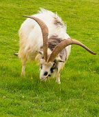 image of billy goat  - British Primitive goat breed feral with large horns and beard white grey and black - JPG