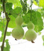 pic of calabash  - Fresh calabash hanging in the garden - JPG
