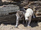 Постер, плакат: Timber wolf pups