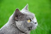 pic of portrait british shorthair cat  - Portrait photo of blue british shorthair cat with amber eyes - JPG