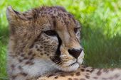 picture of cheetah  - cheetah portrait with spring green grass in the background - JPG