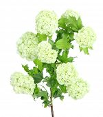 picture of hydrangea  - White Hydrangea isolated on white - JPG