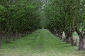 pic of hazelnut tree  - Looking down a grass lane between tow rows of hazelnut trees starting to leaf out in spring - JPG