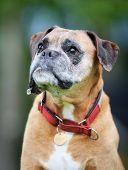 Purebred Boxer Dog poster