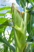 stock photo of zea  - Zea mays Linn - JPG