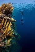 picture of bottomless  - Underwater shot of the lady free diver in wet suit descending along the vivid coral reef wall - JPG