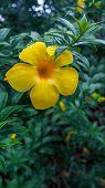 foto of trumpet flower  - Close up Golden Trumpet Yellow Bell Flower  - JPG