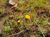 stock photo of butterbur  - yellow coltsfoot flowers in spring on ground - JPG