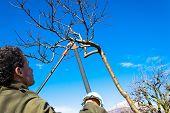 stock photo of tree trim  - Pruning peach - JPG